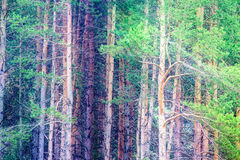 Background of deep forest with bright sunshine ray Stock Photo