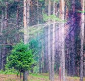 Background of deep forest with bright sunshine ray Stock Images