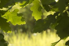 Background of defocused oak green leaves, summer or spring season stock photo