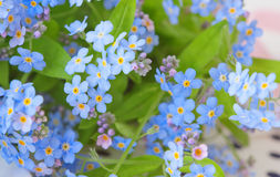 Background of delicate flowers forget-me-not Stock Photo