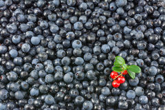 Background of delicious blueberries and cranberries. Decorative blue texture of blueberries with beautiful cranberry small branch stock photography