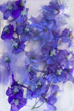 Background of   delphinium flower frozen in ice Stock Photography