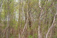Background from dense branches. Beautiful landscape ,brushwood background. brushwood. Stock Images