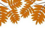 Background for a design with the autumn leaves of wild ash Stock Photo
