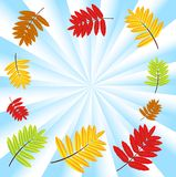 Background for a design with the autumn leaves of wild ash Royalty Free Stock Image