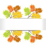 Background for a design with the autumn leaves of wild ash Stock Image