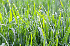 Background of dew drops on bright green grass Stock Images