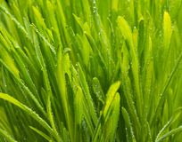 Background of dew drops on bright green grass Royalty Free Stock Photo