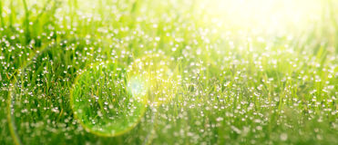 Background of dew drops on bright green grass Stock Image