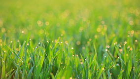 Background with Dew on the Grass at Dawn. Seamless Loop stock footage