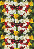 Background of different color flowers freesia Royalty Free Stock Images