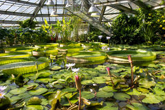 Victoria amazonica flower closeup stock image image of - What time does victoria gardens close ...