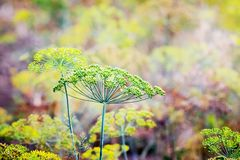Background with dill umbrella closeup. Fragrant dill on the gar royalty free stock images