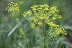 Background with dill umbrella closeup stock photography