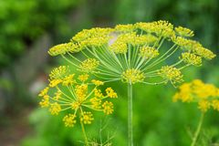 Background with dill umbrella closeup. Garden plant. Fragrant di. Ll on the garden Royalty Free Stock Photo