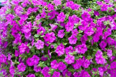 Background display of bright pink petunias Stock Photo