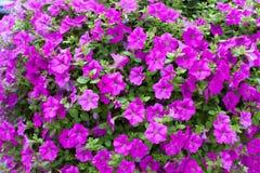 Background display of bright pink petunias Stock Photo