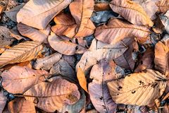 Background of dried brown leaves piled on the ground in the forest. royalty free stock photo