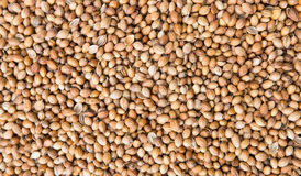 Background of dried coriander seeds Royalty Free Stock Images