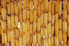 Corn cobs. The background of dried corn cobs Royalty Free Stock Photos