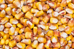 Background of dried corn Royalty Free Stock Photography