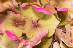 Background of dried hydrangea flowers close up Royalty Free Stock Photo