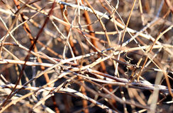Background of dried twigs Royalty Free Stock Images