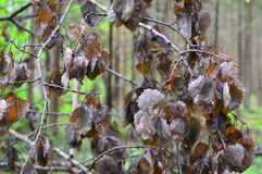 Dry leaves on a branch of an autumn tree royalty free stock photo