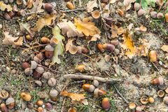Background with dry brown acorns royalty free stock images