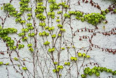 A background with dry brown and light green fresh grape branches and leaves rising on a white rough painted wall. Walldorf, Germany stock image