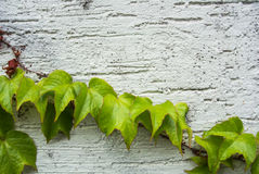 A background with dry brown and  light green fresh grape branches and leaves rising on a white rough painted wall Stock Photos