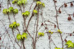 A background with dry brown and  light green fresh grape branches and leaves rising on a white rough painted wall Royalty Free Stock Photos