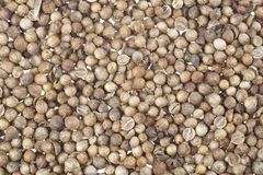 Dry coriander seeds. Background with dry coriander seeds Stock Photos