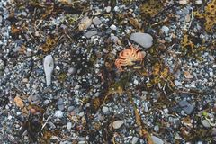 Background of dry dead red crab on the pebble beach Royalty Free Stock Photo