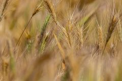 Background of dry field spikelets of wild nature Royalty Free Stock Photography