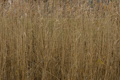 Background of dry grass. Royalty Free Stock Photography