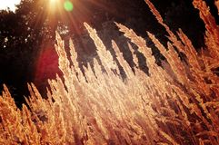 Background dry grass with the sun Stock Photography