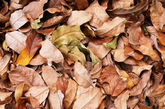 Background - Dry Leaves. Background - Brown dry Leaves in the ground Royalty Free Stock Photography