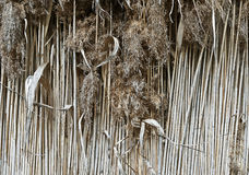 Background of dry stalks of cane closeup Royalty Free Stock Photos