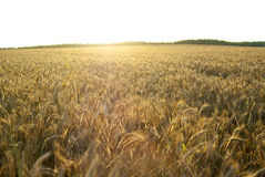 Background with ears of wheat rye field at sunset Royalty Free Stock Photos