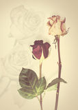 Background with fading rose. Fading rose. Dead rose. withered rose Royalty Free Stock Images