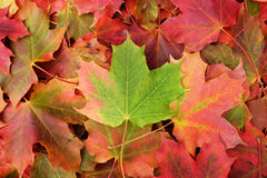 Background of fall maple leaves Stock Image