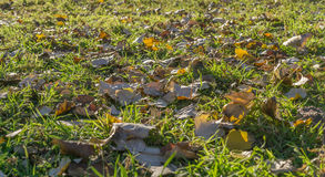 The background of the fallen autumn leaves. Stock Photography