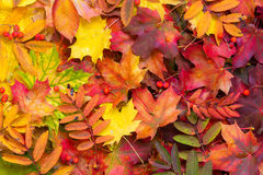 Background of fallen autumn leaves. Royalty Free Stock Photography