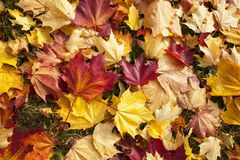 Background of fallen autumn leaves. On the ground Royalty Free Stock Images