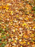 Background of fallen autumn leaves on woodland floor outside cou. Ntry forest; essex; england; uk Royalty Free Stock Photo