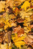 Background of fallen leaves of maple Royalty Free Stock Photos
