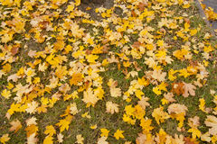 Background of fallen maple leaves. In autumn city park Royalty Free Stock Images