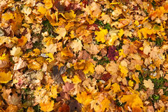 Background of fallen maple leaves Stock Images