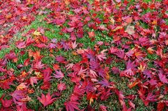 Background of fallen red Japanese maple leaves in autumn Stock Images